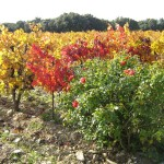 vigne automne et rosier