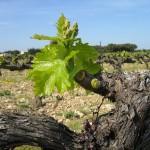 vigne débourrement avril